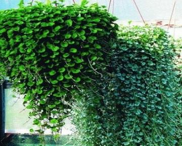 Ампельные (свисающие) растения и кусты